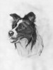 BORDER COLLIE dog pencil drawing