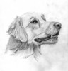 GOLDEN RETRIEVER dog pencil drawing