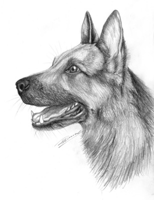 Product picture GERMAN SHEPHERD dog pencil drawing
